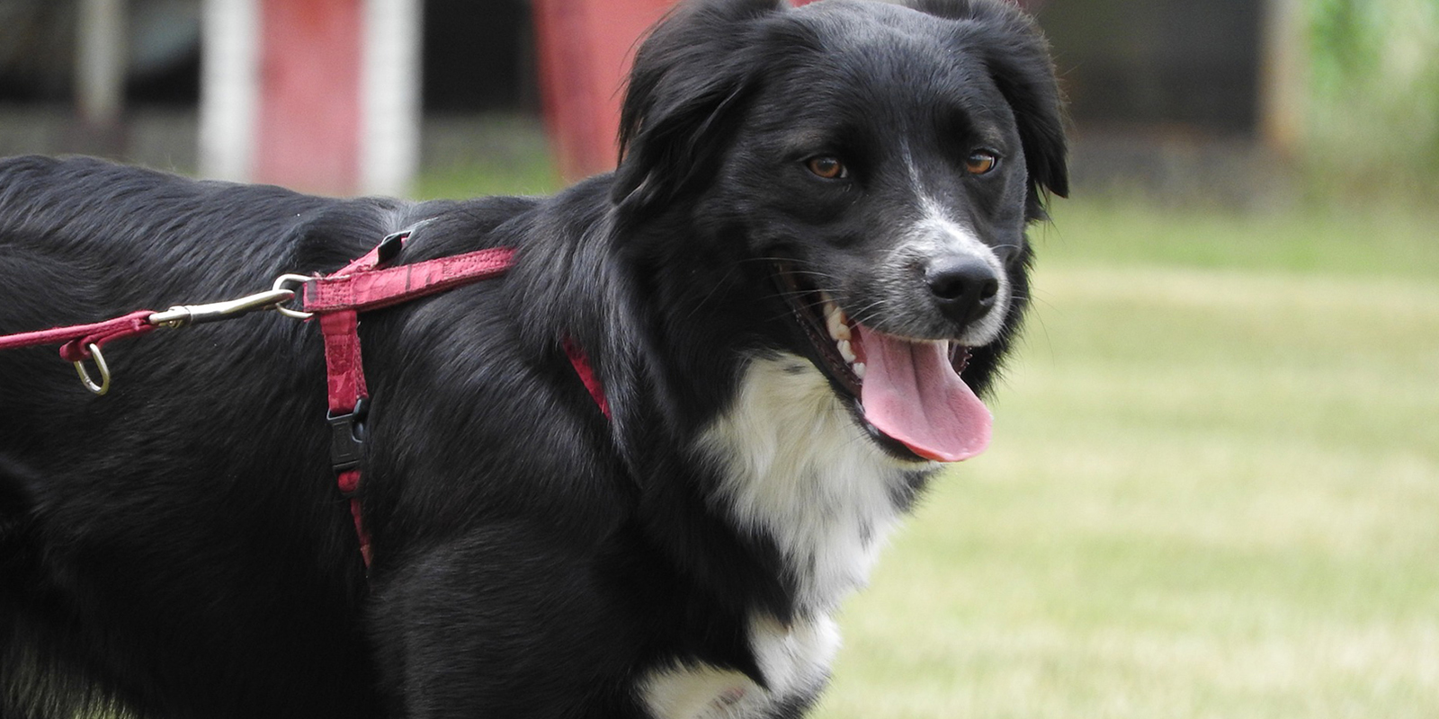 Respect The Lead Campaign Border Collie On A Lead